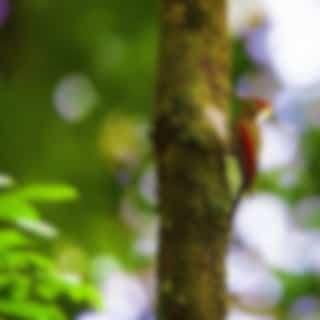 Woodpecker in Forest: Birds, Cuckoo in Spring